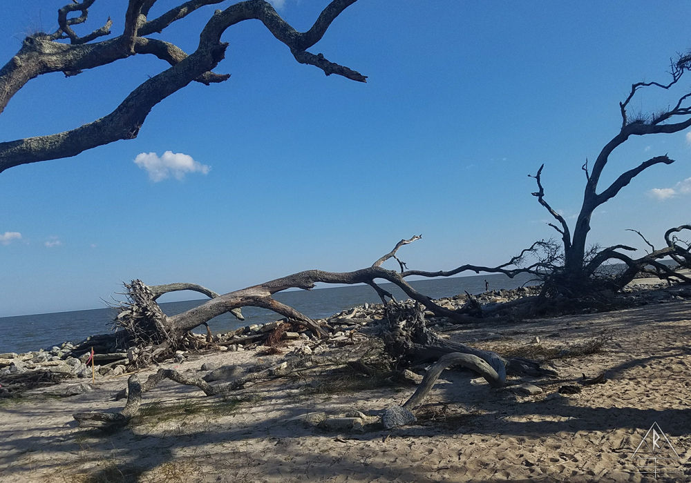 Driftwood bleached by the sun and preserved by salt air on Driftwood Beach, Georgia.