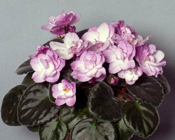 Making your African Violets Flower   African Violet Society of WA Inc  Making your African violet Flower