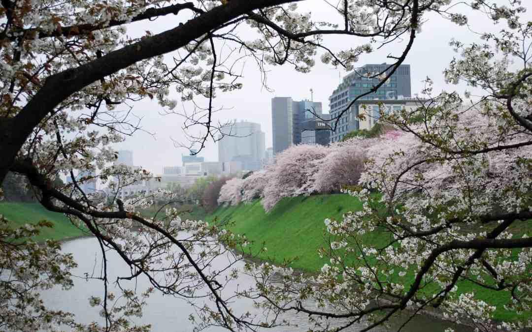 Chidorigafuchi Sakura
