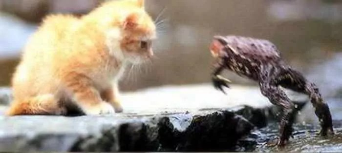 Rare Funny Battle Between Cat And Frog -02