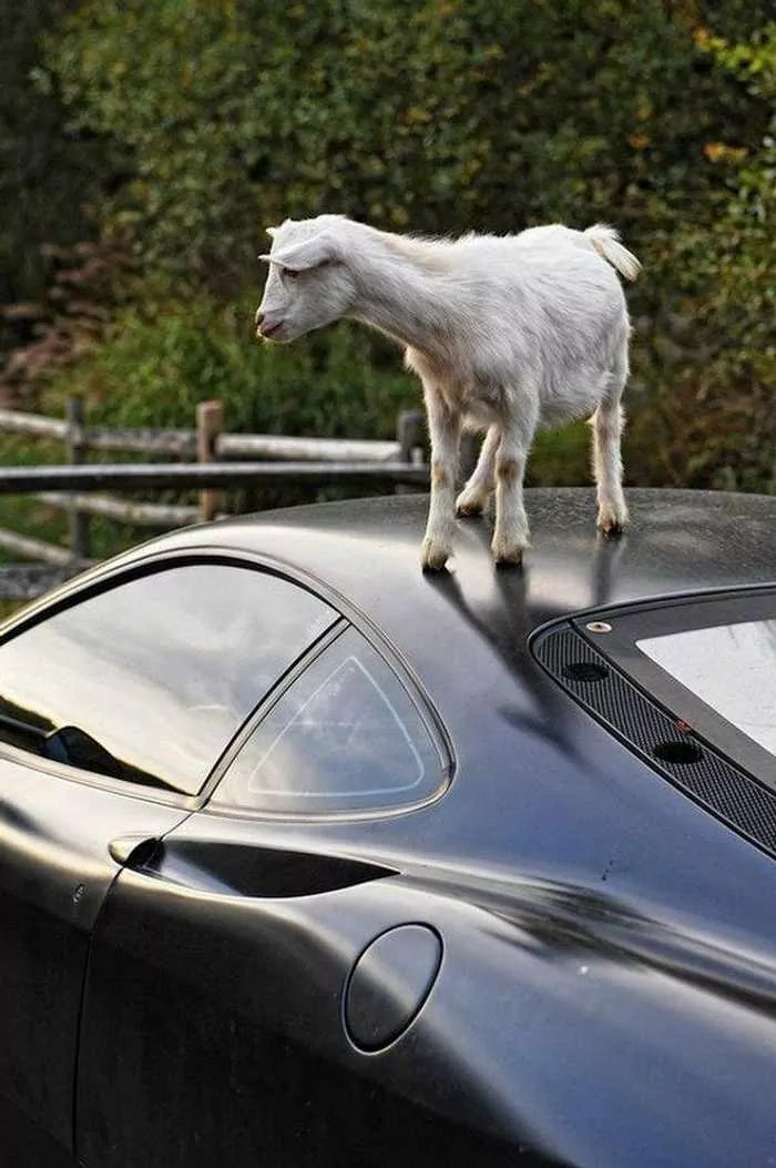 Funny Goat Playing on The Top of Ferrari Car_03