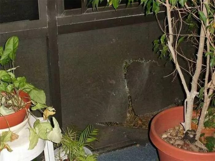 Scary Uninvited Guest Alligator in Home - 4 Pics -02