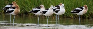 News, American avocet © Elis Simpson