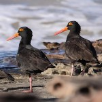 Oystercatchers - Sooty Oystercatcher