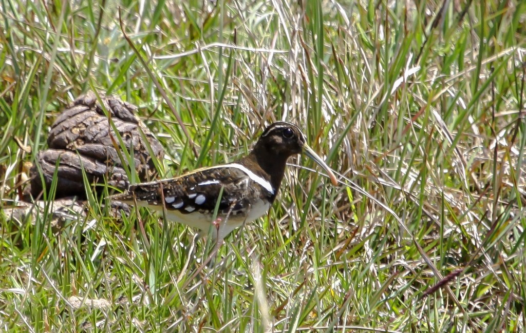 outh American Painted-snipe (1) © Elis Simpson