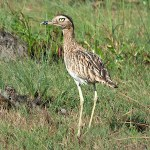 Stone-curlews and Thick-knees - Double-striped Thick-knee