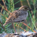 Stone-curlews and Thick-knees - Water Thick-knee