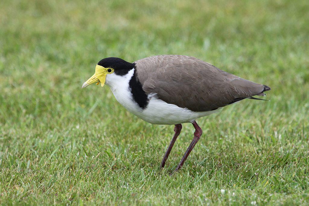 Black-shouldered Lapwing