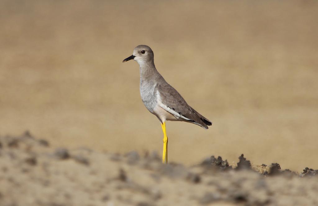 White-tailed Lapwing (1) © Elis Simpson