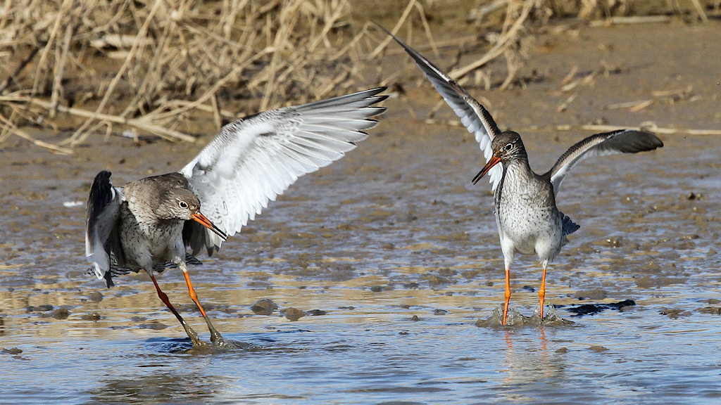 Common Redshank (5) © Barry Madden