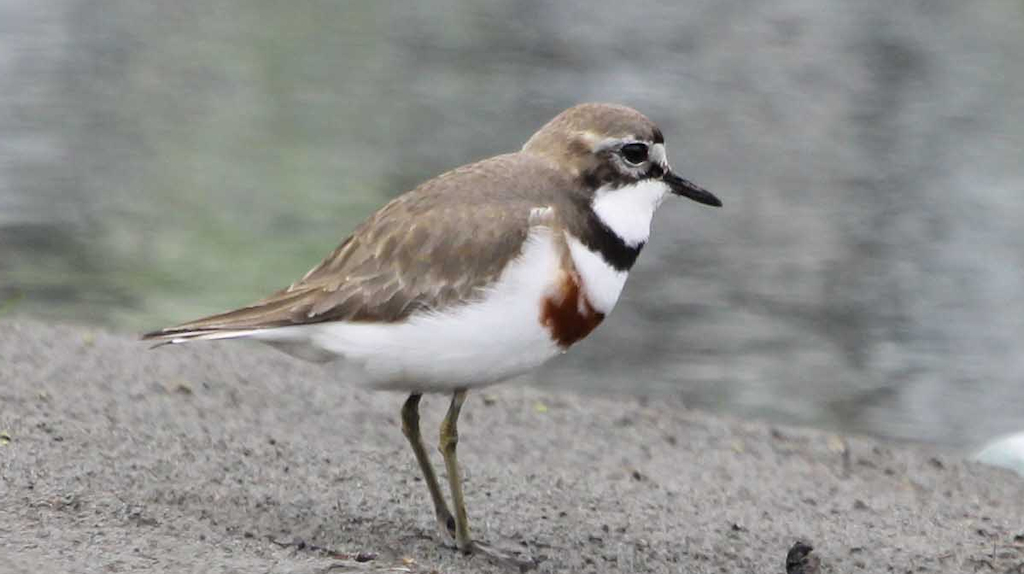 Double-banded Plover (1) © Elis Simpson