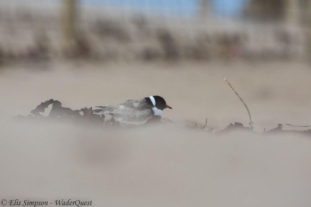 Hooded Plover (4) © Elis Simpson