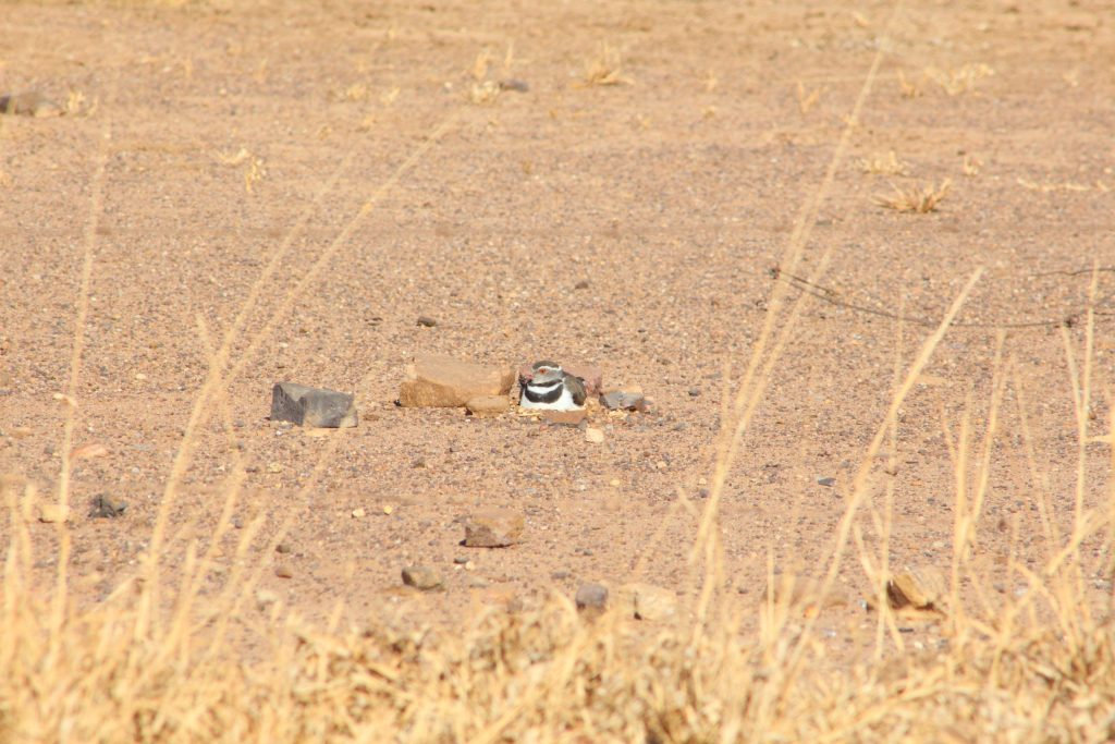 Three-banded Plover on nest © Janet du Plooy