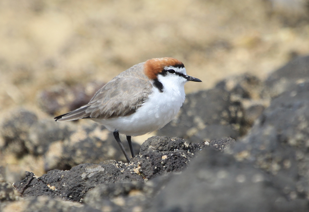 Red-capped plover (1) © Elis Simpson