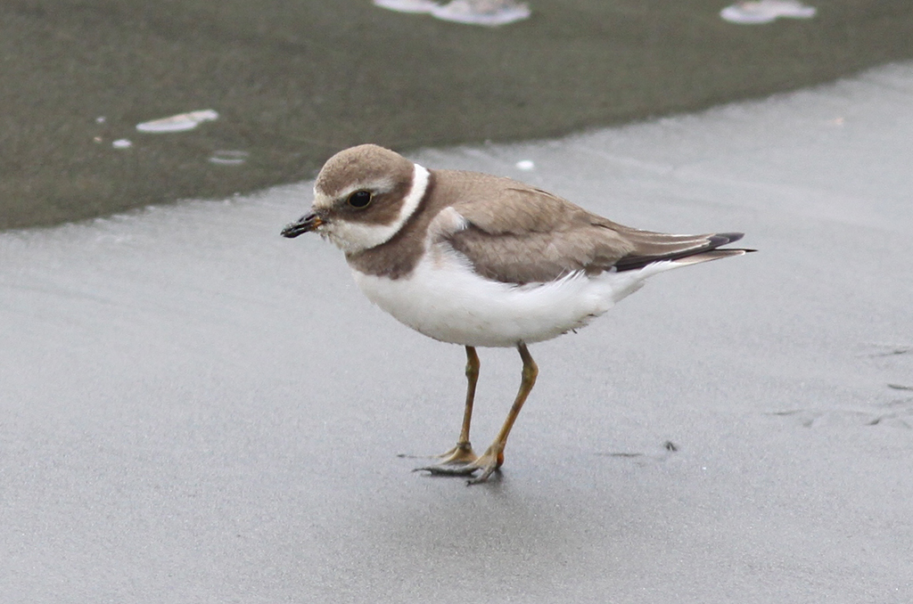 Semipalmated Plover (1) © Elis Simpson