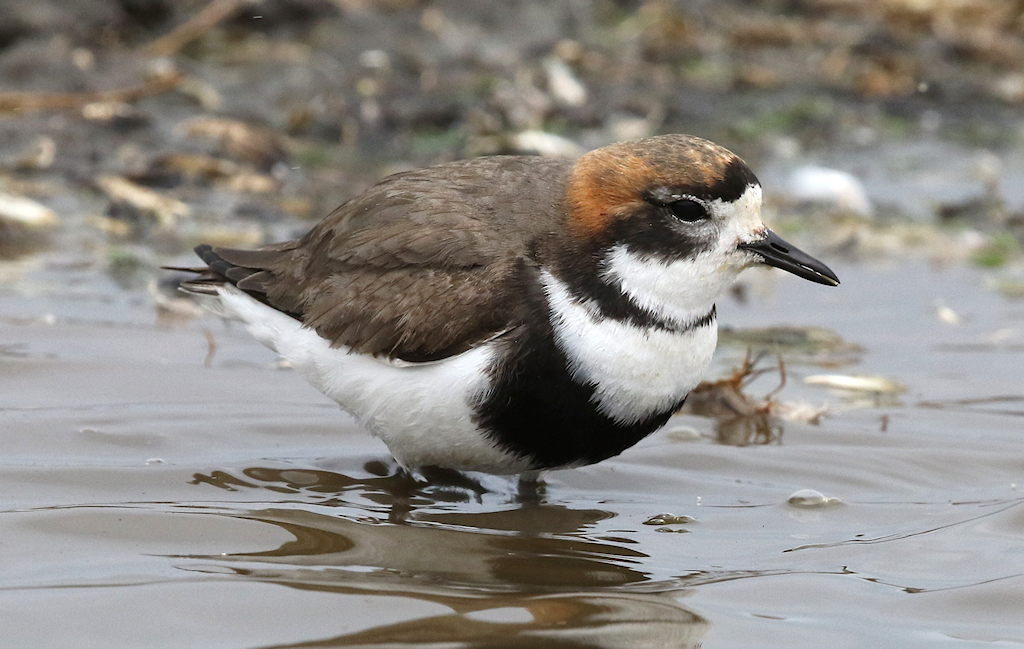 Two-banded Plover (4) © Barry Madden