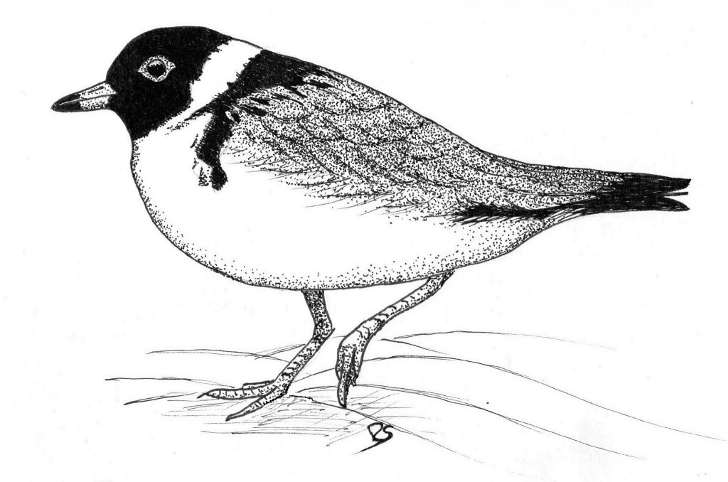 Hooded Plover; Pen and Ink © Rick Simpson