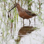 Snipes and Dowitchers