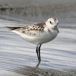 Sandpipers