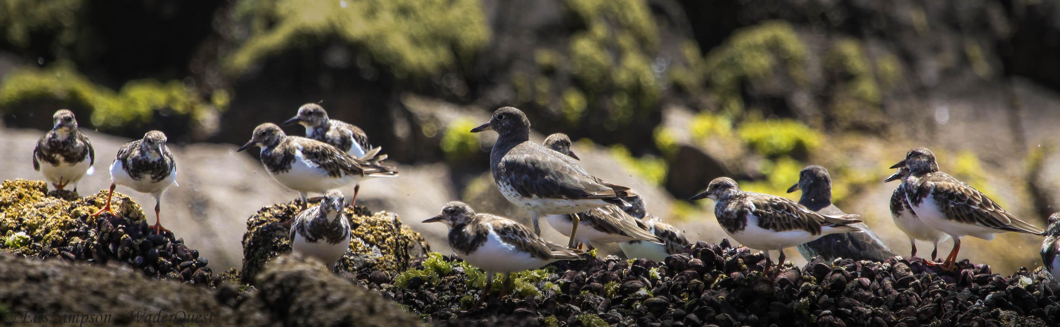 Ruddy Turnstone; Chile (with Surfbirds) (1) © Elis Simpson