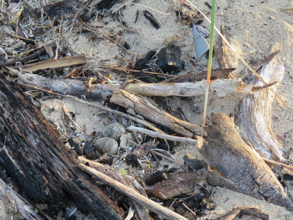 Three-banded Plover nest © Brittany Arendse