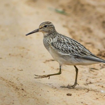 Atlantic Forest Sandpiper
