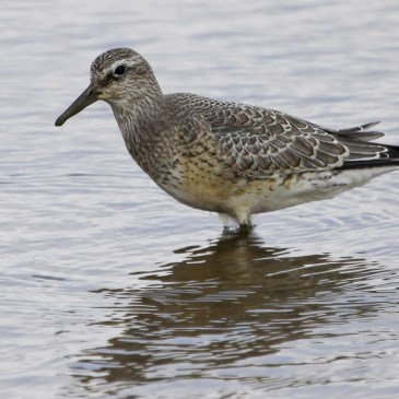 How are waders being affected by a warming tundra?
