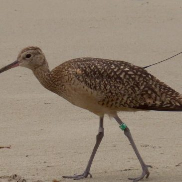 Guest blog 2: Intermountain Bird Observatory Long-billed Curlew Project Update – Heather Hayes