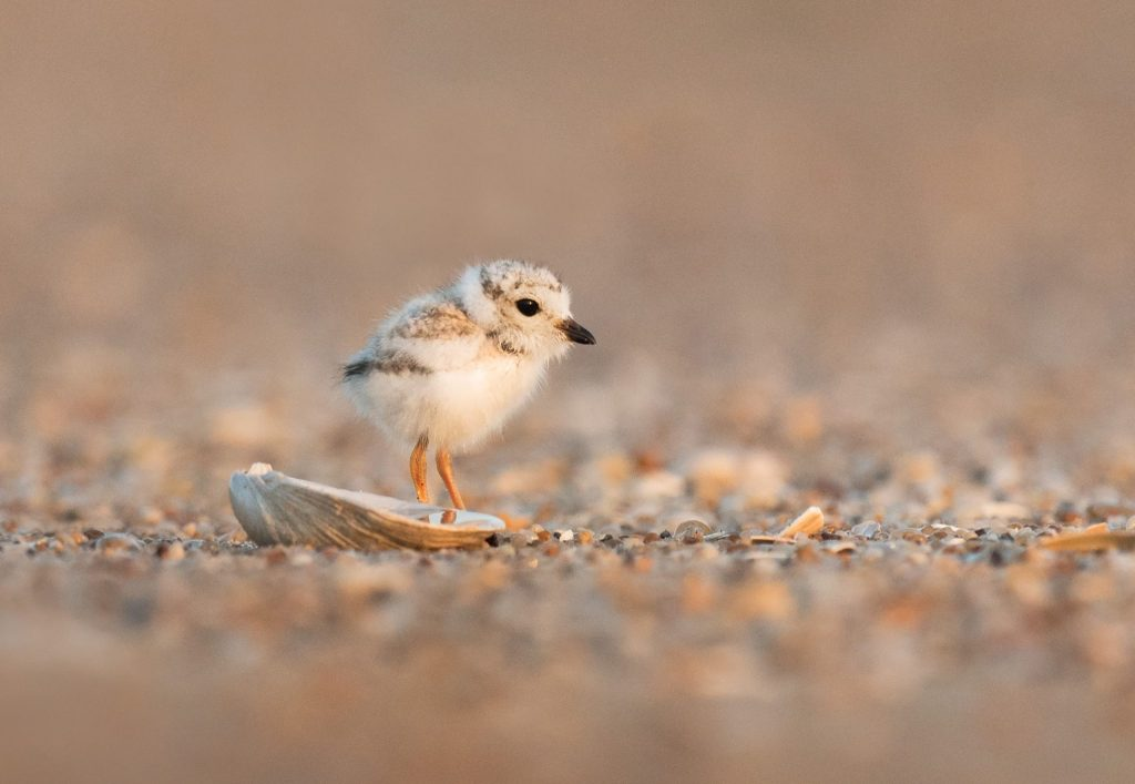 1Piping Plover chick © Ray Hennessy