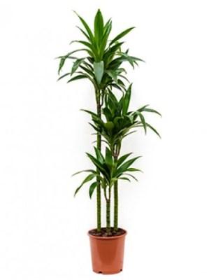 Indoor plant, dracaena janet, office plant