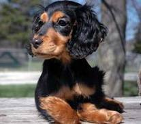 Dachshund English Cocker