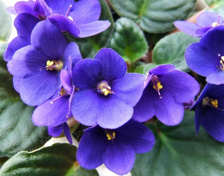 Pet-Safe Flowering Houseplants