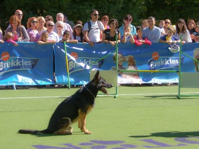 German Shepherd exercise