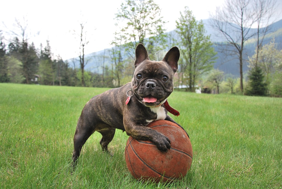 The French Bulldog and a ball
