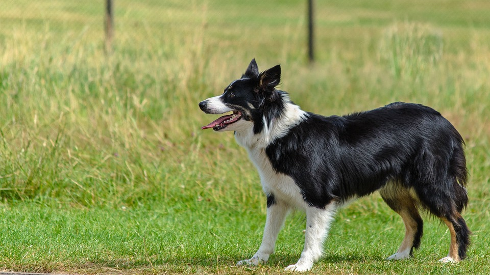 Dog Obedience Training with a Professional