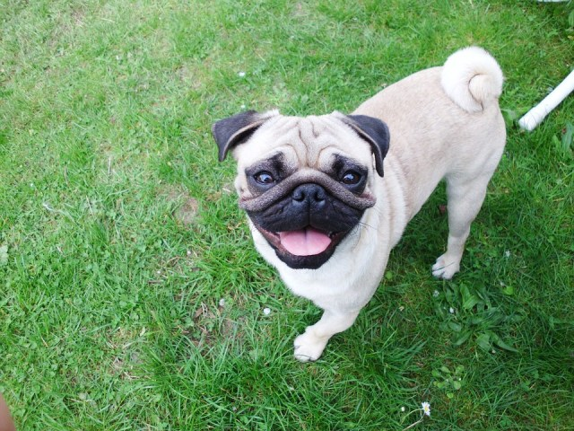 The pug tail