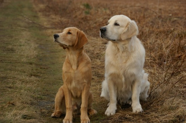 The Golden Retriever coat colors