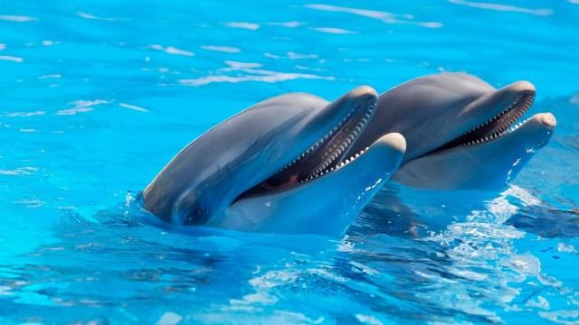 Clicker training dolphins