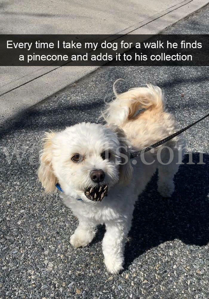 Every time I take my dog for a walk he finds a pinecone and adds it to his collection