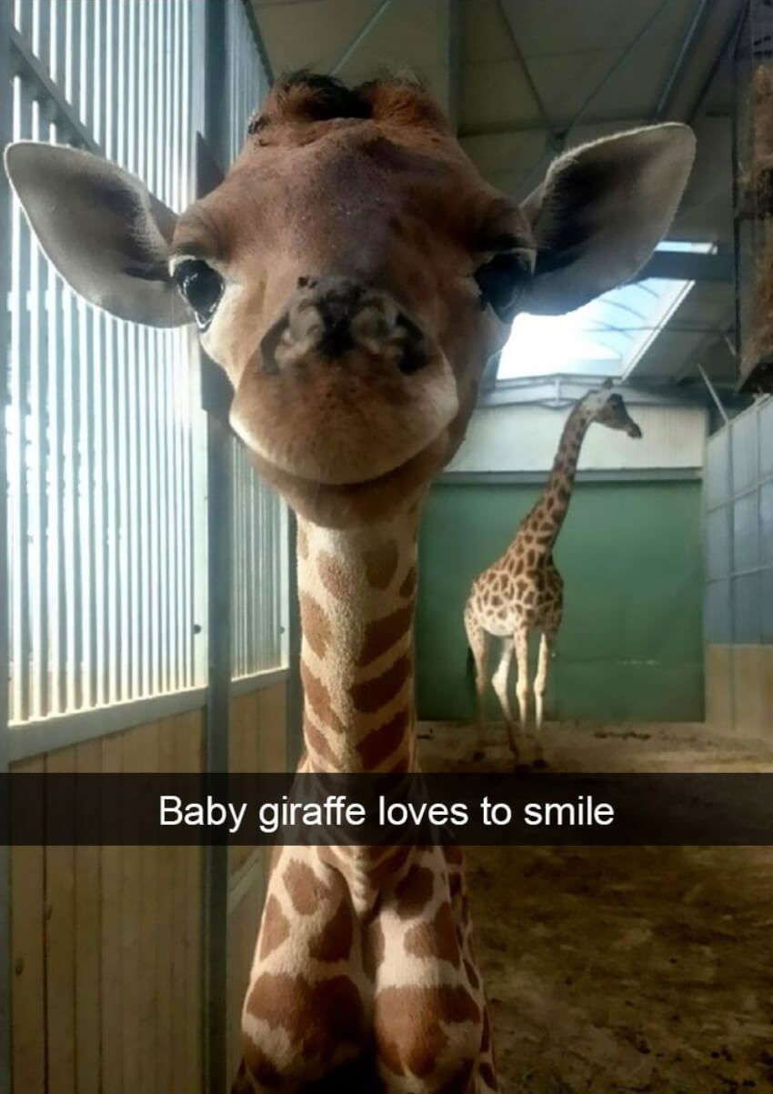 baby-giraffe-loves-to-smile