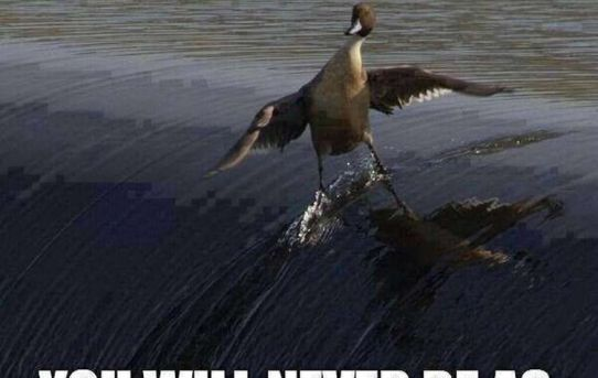 No matter how hard you try. You will never be as cool as this duck.