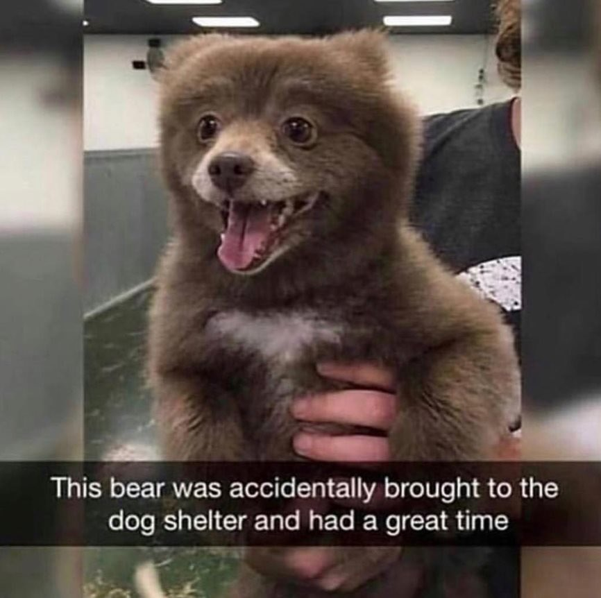 This bear was accidentally brought to the dog shelter and had a great time
