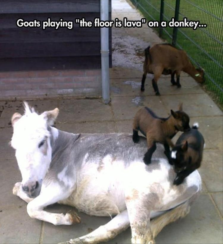 "Goats playing ""the floor is lava"" on a donkey…"