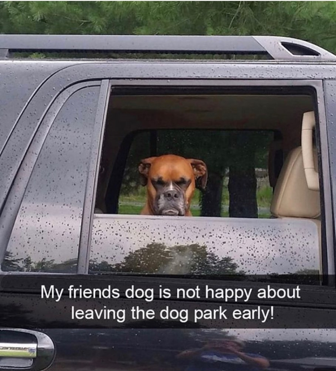 My friend's dog is not happy about leaving the dog park early!