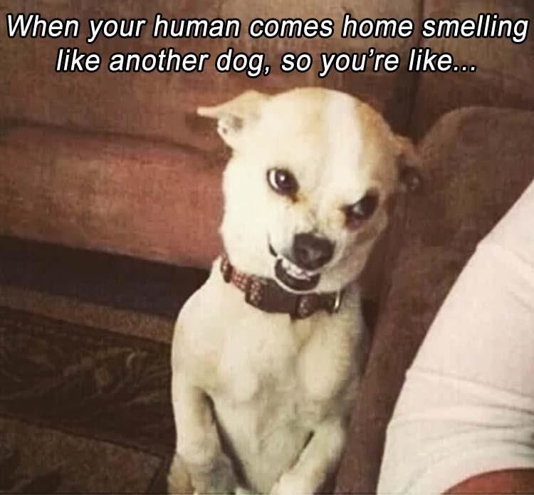 When your human comes home smelling like another dog, so you're like…