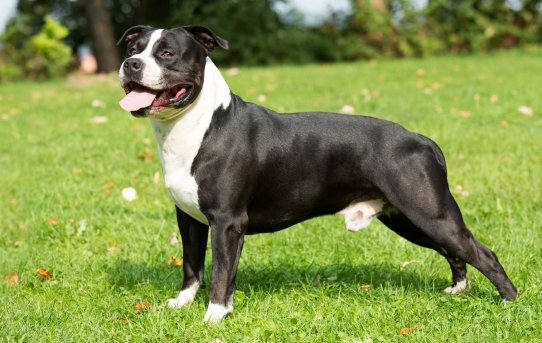 American Staffordshire Terrier: A Muscular Breed With A Surprisingly Affectionate Nature