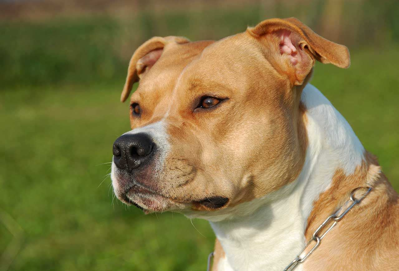 American Staffordshire Terrier Ears