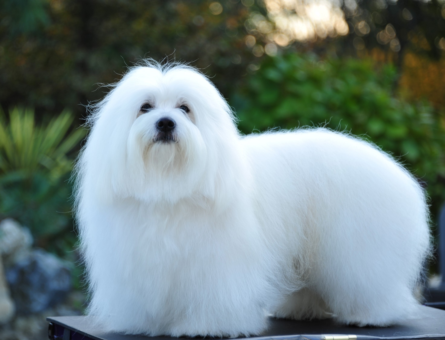 Coton de Tulear: A Lap Dog That's Sweet and Soft Like a Cotton Candy