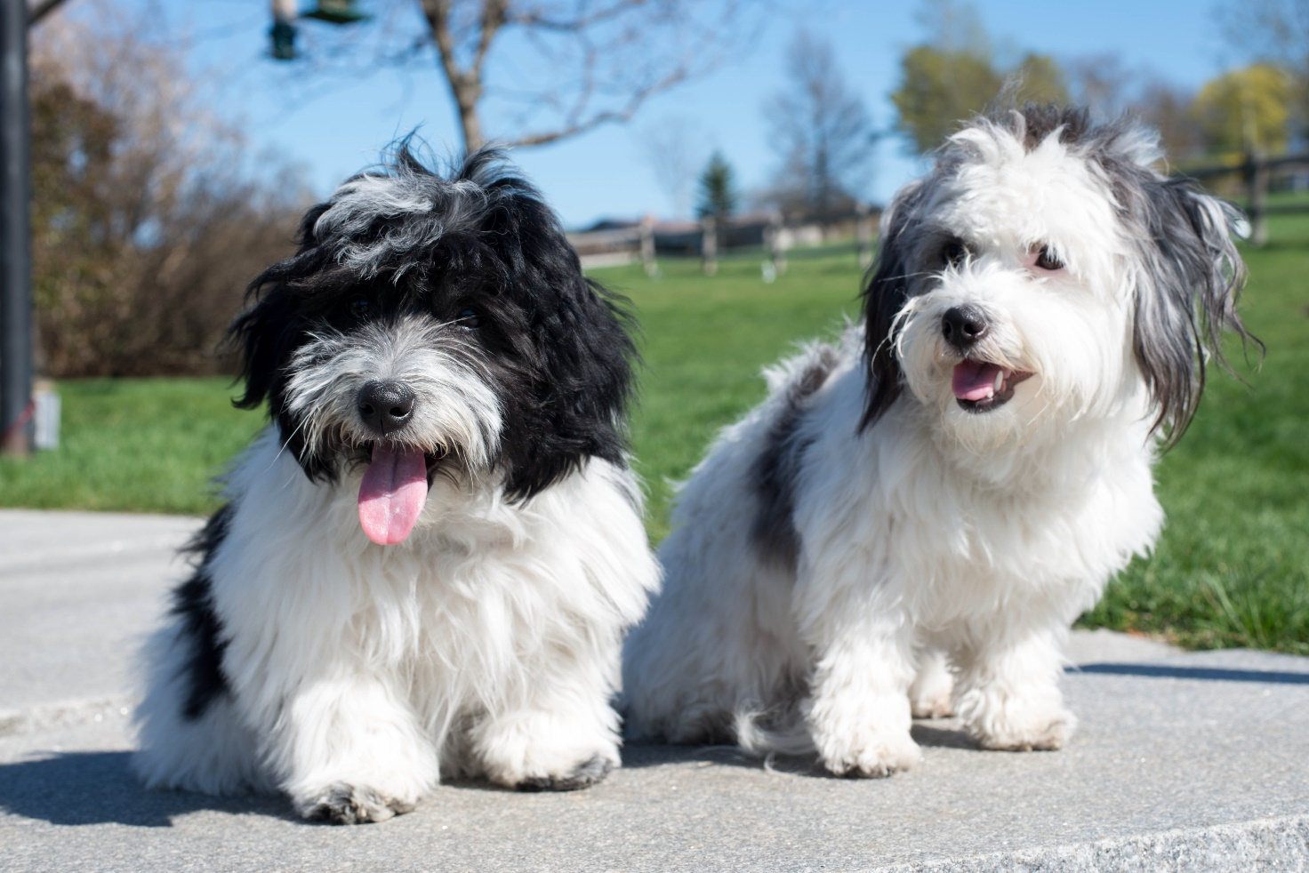 Coton de Tulear white with black markings