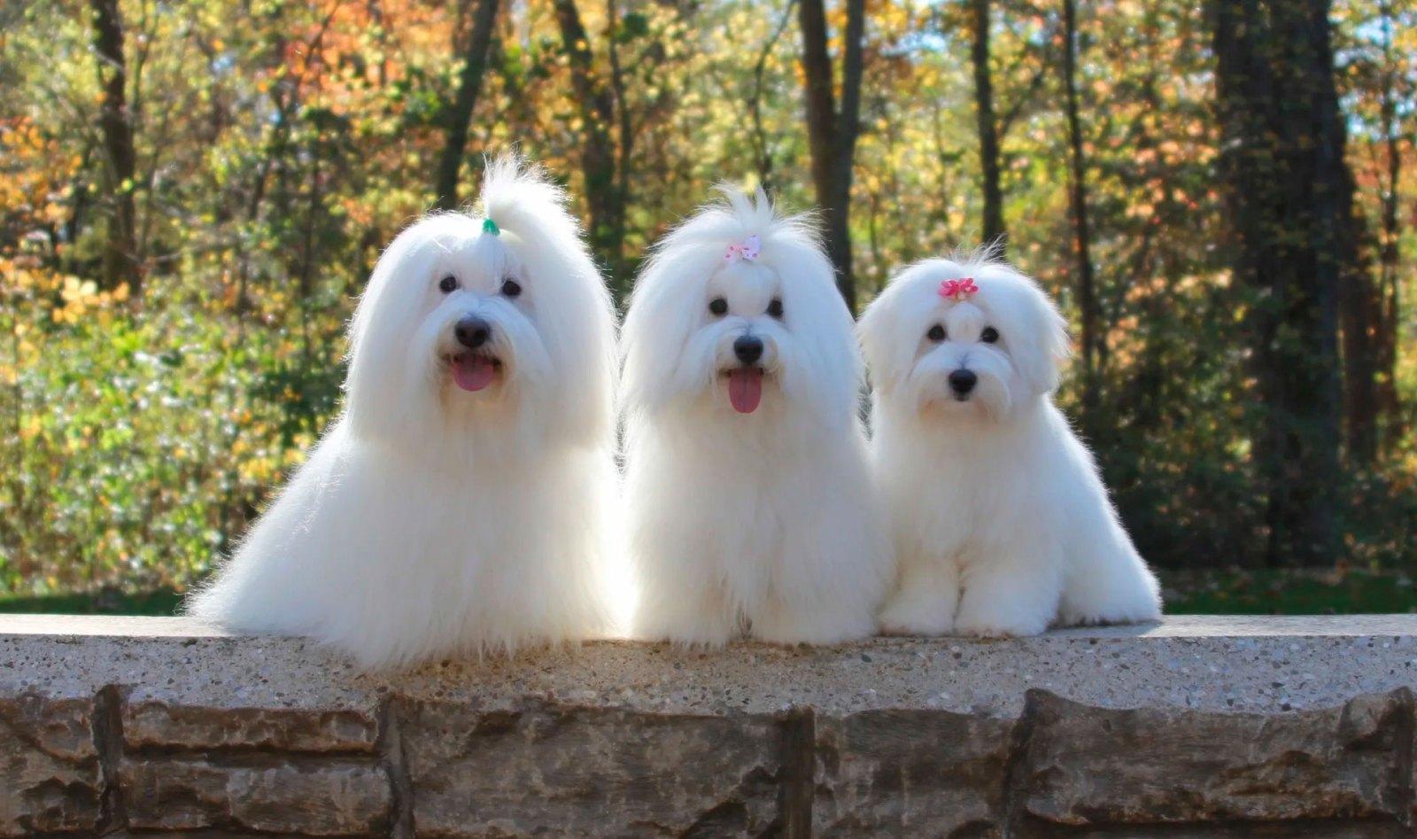 Three Coton de Tulears